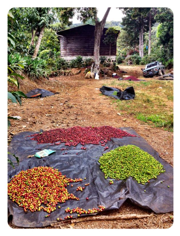 Initial cherry sorting during picking at Finca Malacara in El Salvador